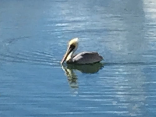 Pelican at the Harbor Town Yacht Basin on Hilton Head Island