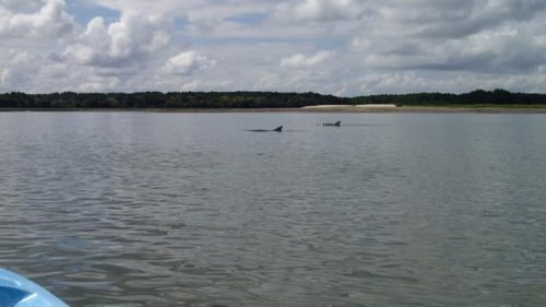 Dolphins in Skull Creek, between Pinckney Island and Hilton Head Island