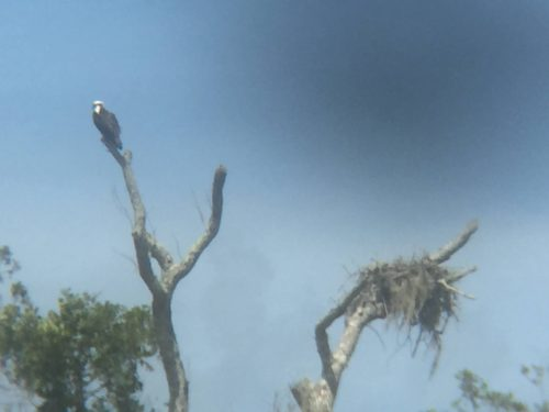 Bald Eagle and nest by Blue Water Resort