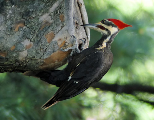Easy Birds to See on Hilton Head Island: Pileated Woodpecker Photo by Lorax from Wikimedia Commons