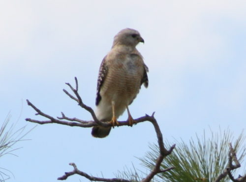 Easy Birds to See on Hilton Head Island: Red-shouldered Hawk Flying Photo by Gouldingken from Wikimedia Commons