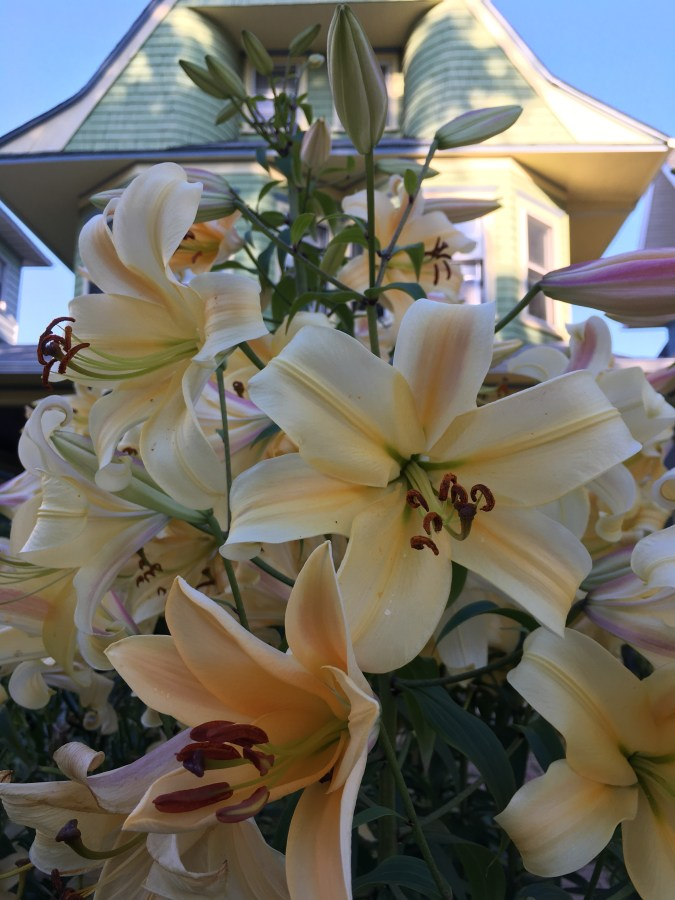 Lilies in Bloom