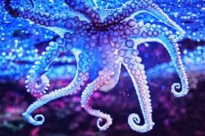 blue-ocean-octopus-paul-photography-purple-Favim.com-51195