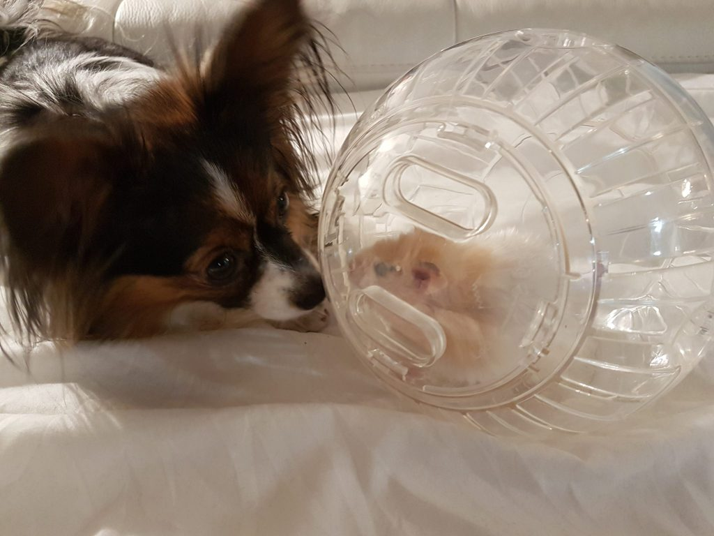 Papillon dog, teddy bear hamster, cute dog pictures, hamster ball, dogs and hamsters
