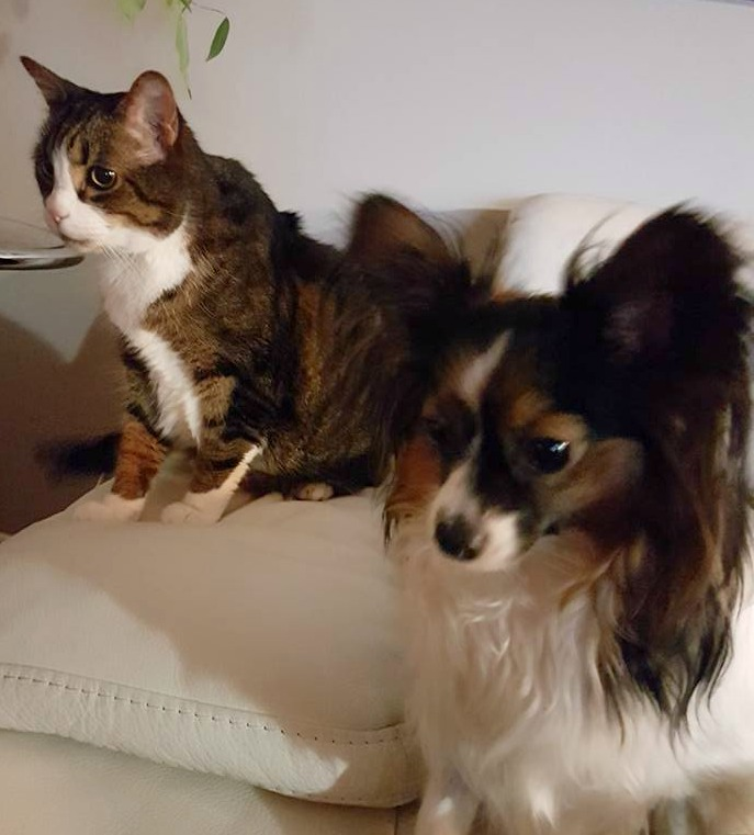 papillon, tabby cat, dog and cat, Sage and Angus