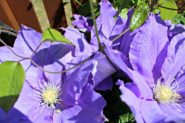 6 Week yard transformation challenge. Clematis