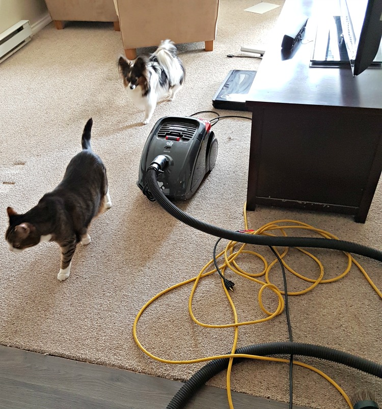 condo renovation, little helpers, papillon, Greg's condo