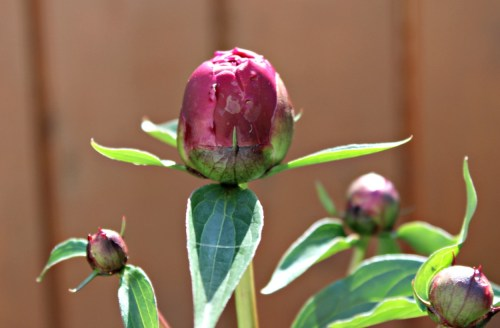 This big plump peony bud is just ready to burst forth for spring