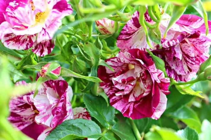 beautiful roses climbing purple splash