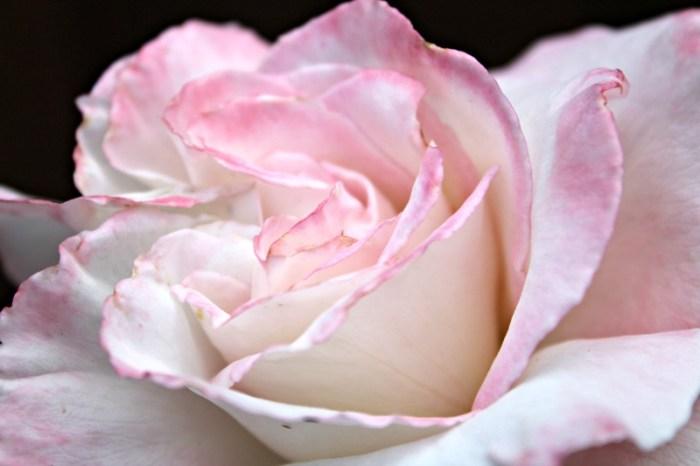 Secret hybrid teas rose