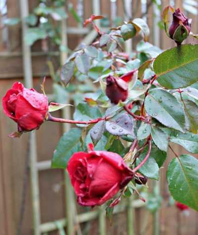six week yard challenge week one|climbing red roses