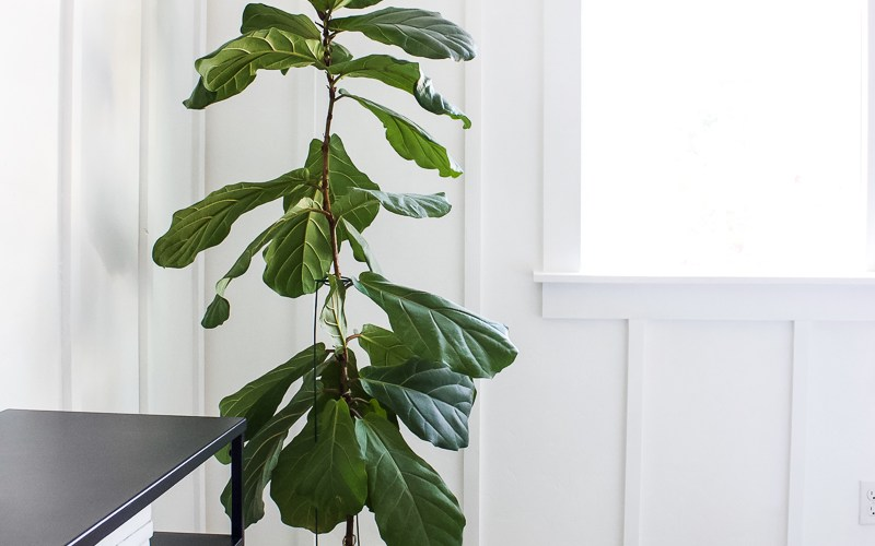 10 Tips on How to Care for a Fiddle Leaf Fig | Practice these simple tips and watch it grow! | Designed Simple | designedsimple.com