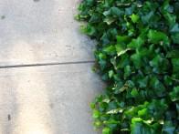 Ivy Sidewalk