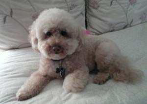 Poochon on the bed