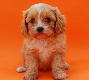 Sitting red Cavoodle puppy