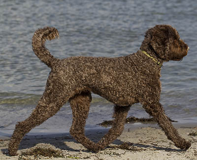 Labradoodle at the beach