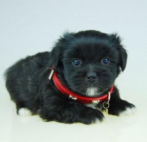 Shihpoo puppy black