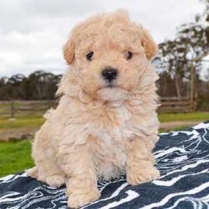 Poochon Dog Breed