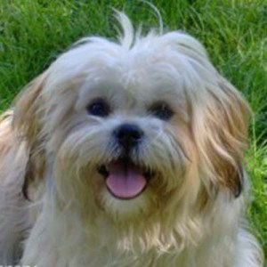 Zuchon Dog Breed