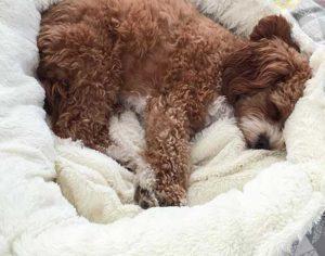 Sleeping Cavoodle puppy