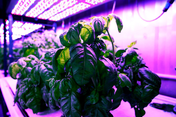 [TECH NEWS] MIT's 'cyber-agriculture' optimizes basil flavors