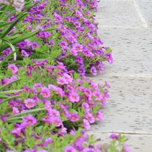 Purple Calibrachoa edging a bluestone walk