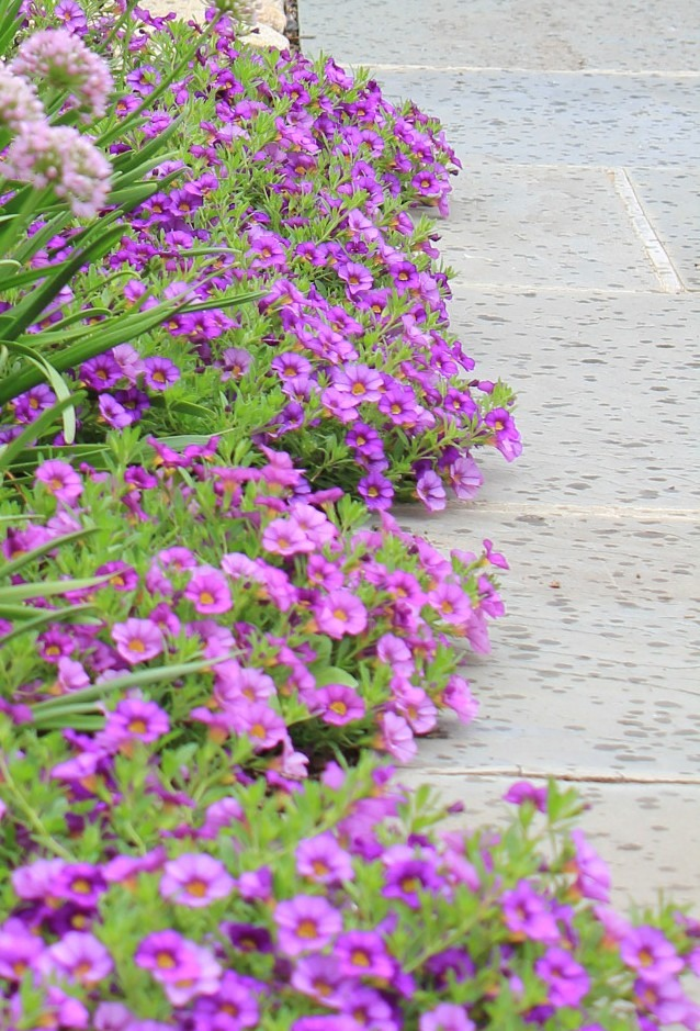 Purple Calibrachoa edging a bluestone walk