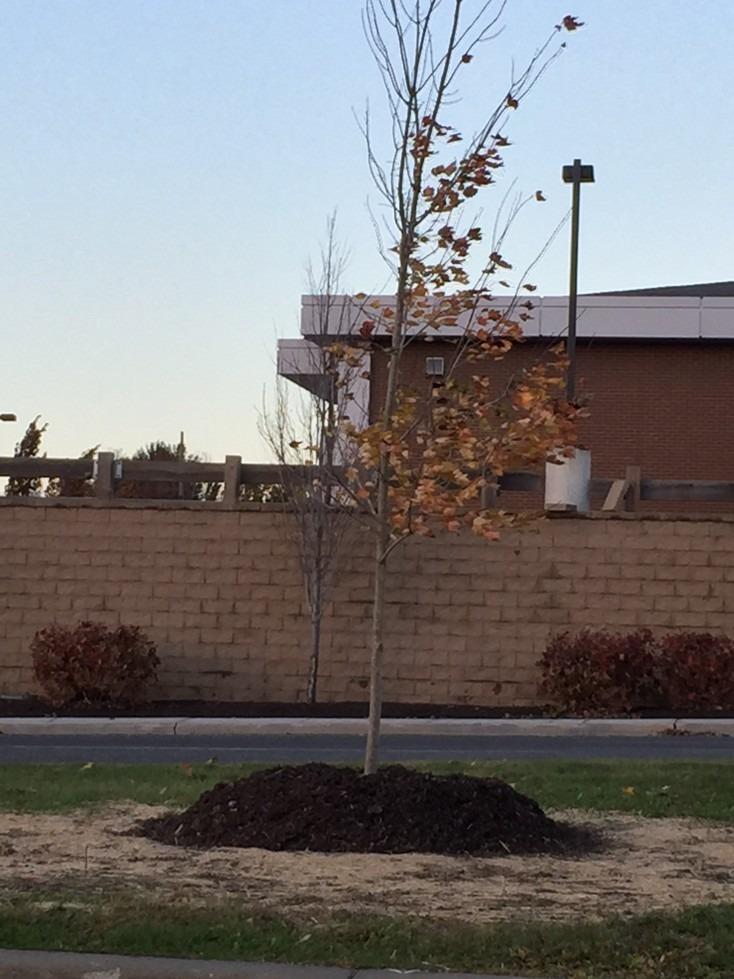 A new tree in a mulch volcano