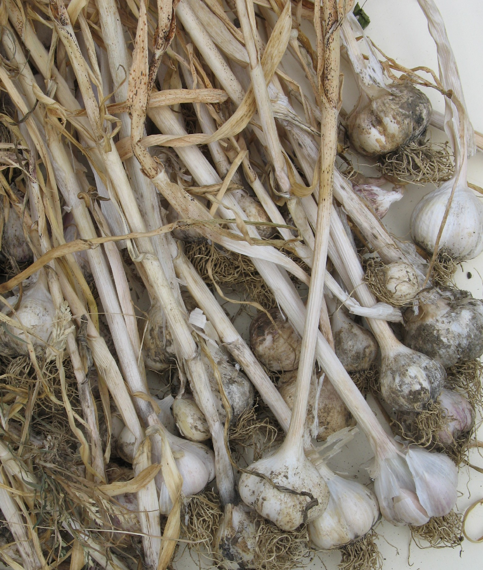 Harvested Garlic