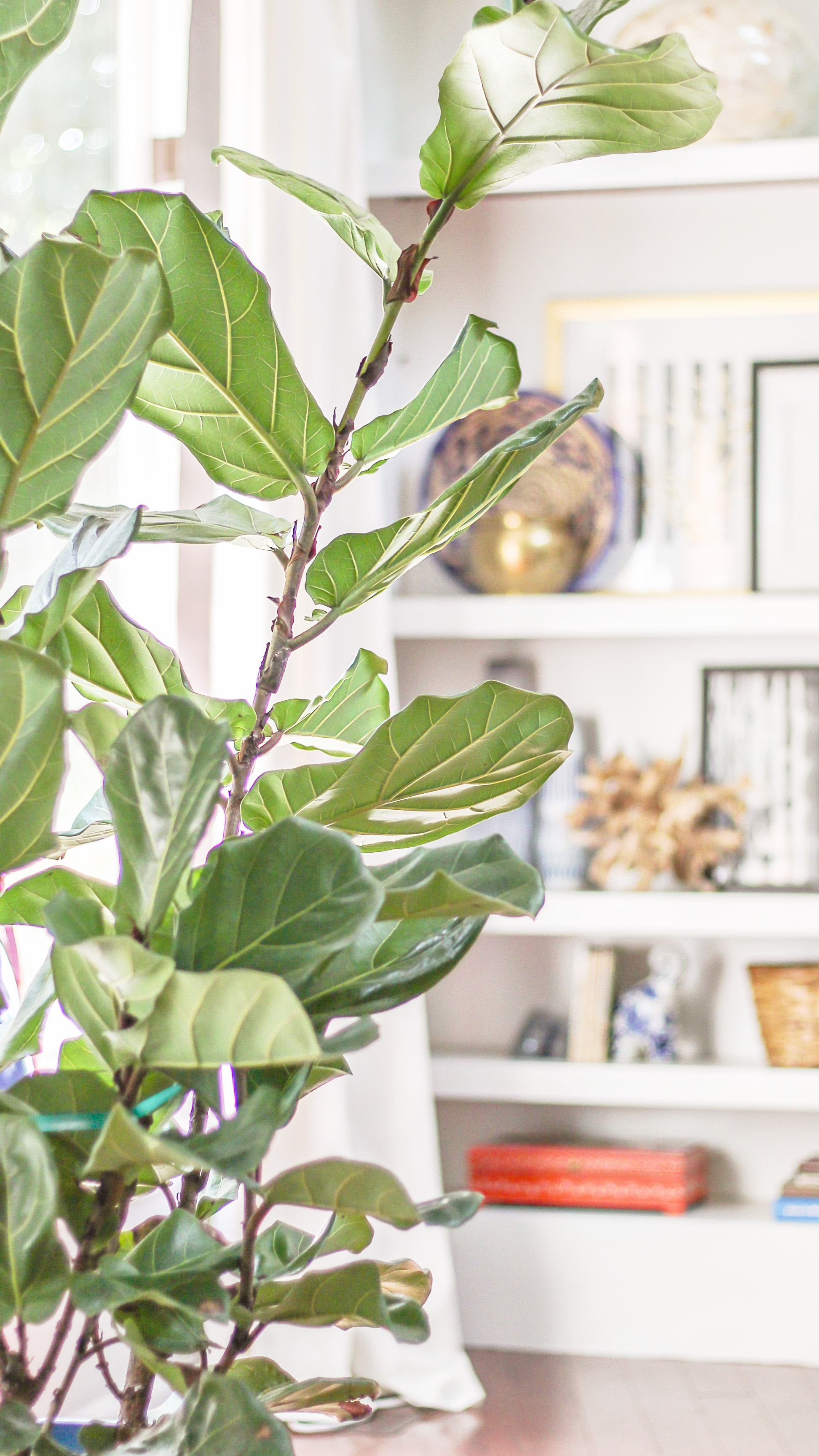 How To Care For A Fiddle Leaf Fig Tree Black Thumb S Guide