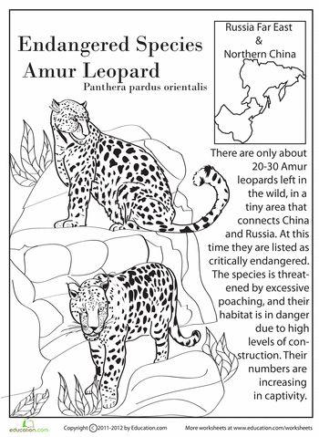Amur Leopard coloring, Download Amur Leopard coloring for