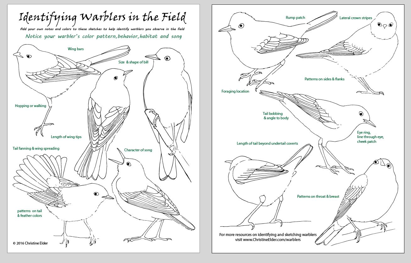 Yellow Warbler coloring, Download Yellow Warbler coloring