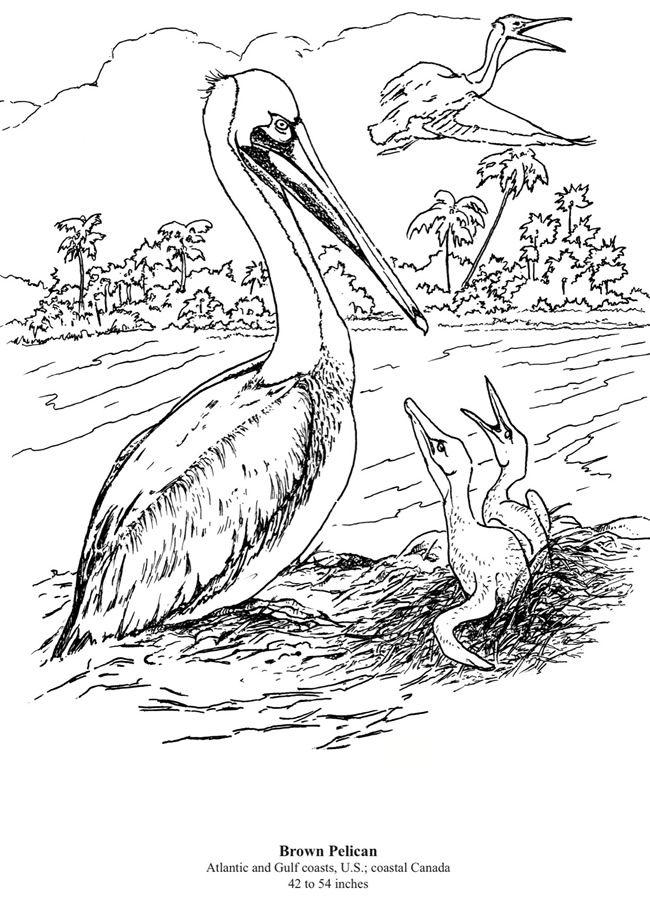 California Brown Pelicans coloring, Download California