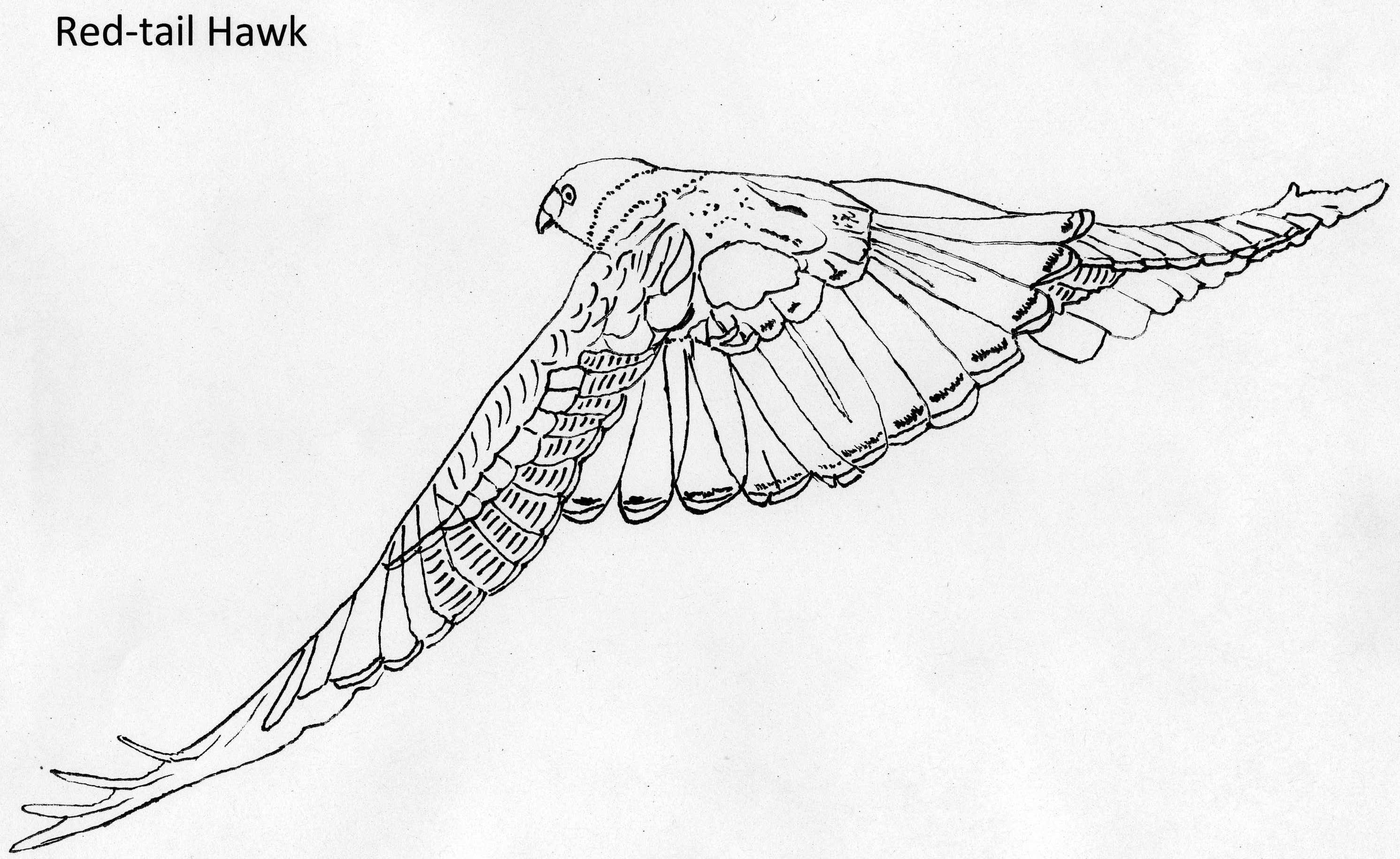 Cooper's Hawk coloring, Download Cooper's Hawk coloring