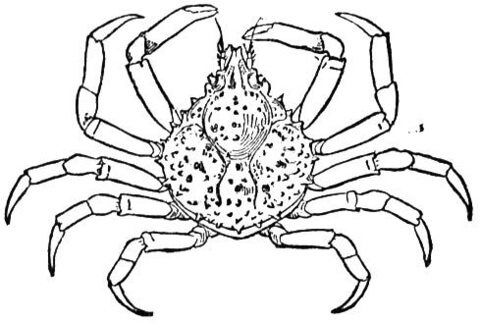 Crab Spider coloring, Download Crab Spider coloring for