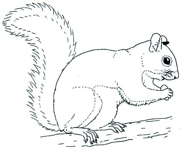 Red Squirrel coloring, Download Red Squirrel coloring for