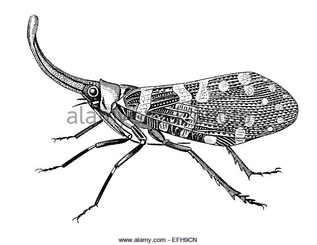 Lantern Fly coloring, Download Lantern Fly coloring for