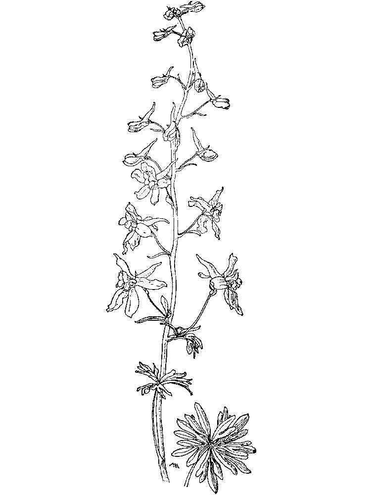 Larkspur Carmin coloring, Download Larkspur Carmin coloring