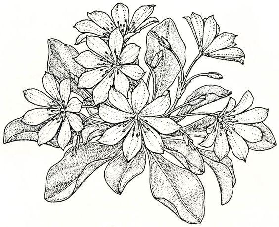 Lewisia coloring, Download Lewisia coloring