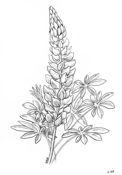 Lupine coloring, Download Lupine coloring