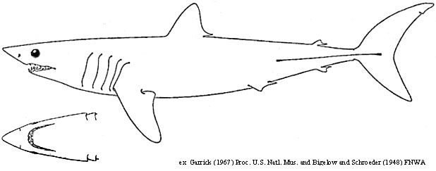 Mako Shark coloring, Download Mako Shark coloring for free