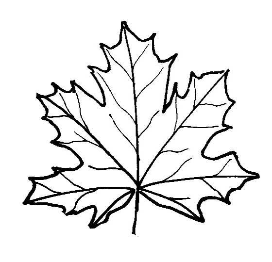 Maple Leaf coloring, Download Maple Leaf coloring