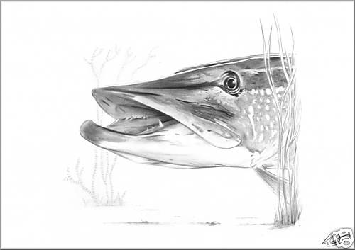 Northern Pike coloring, Download Northern Pike coloring