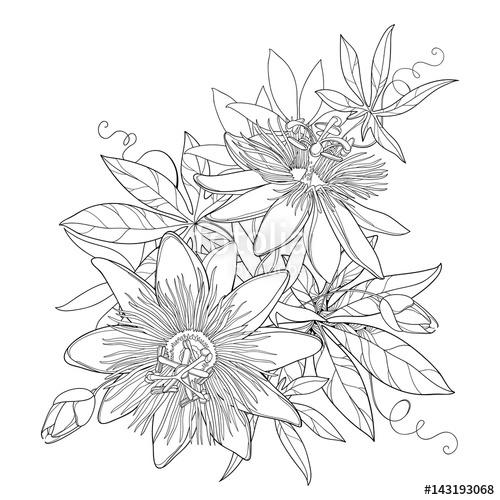 Passiflora coloring, Download Passiflora coloring for free