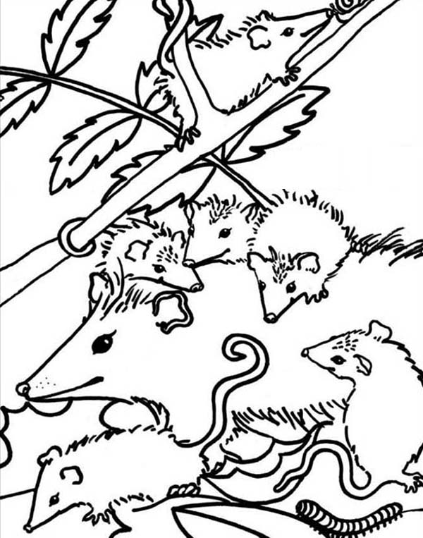 Possum coloring, Download Possum coloring