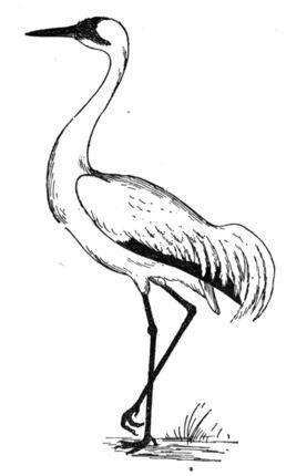 Sandhill Crane coloring, Download Sandhill Crane coloring