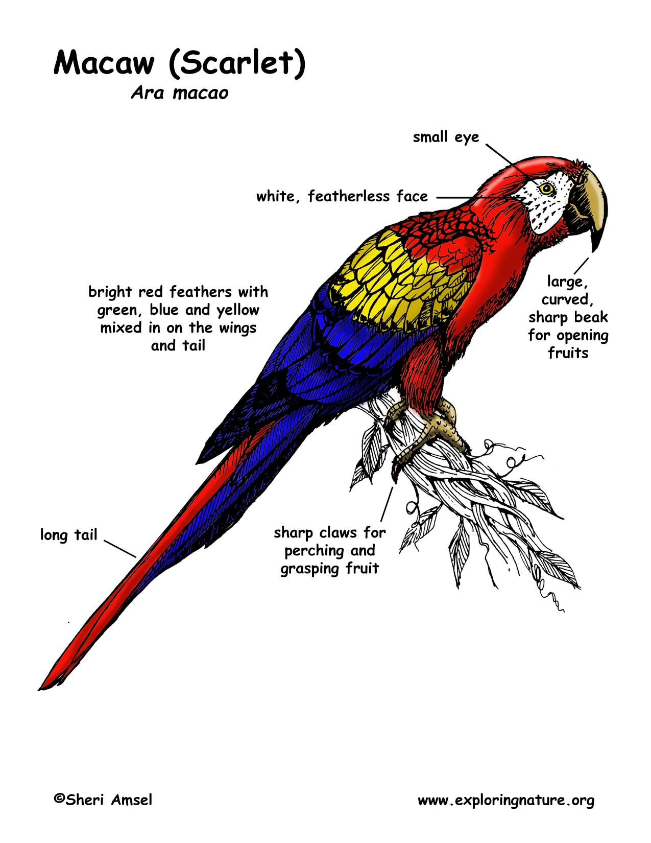 Scarlet Macaw Coloring Download Scarlet Macaw Coloring