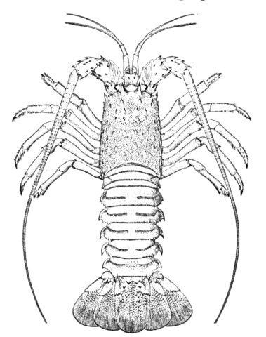 Spiny Lobster coloring, Download Spiny Lobster coloring