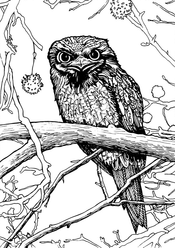 Tawny Frogmouth coloring, Download Tawny Frogmouth coloring