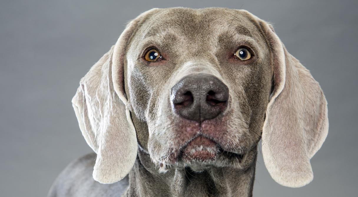 Weimaraner coloring download weimaraner coloring free, puppy love coloring pages